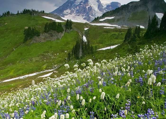 Rainier Greeting Card featuring the photograph Lupine Storm by Mike Dawson