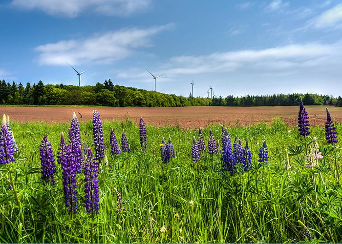 Lupins Greeting Card featuring the photograph Lupins In A Field by Matt Dobson
