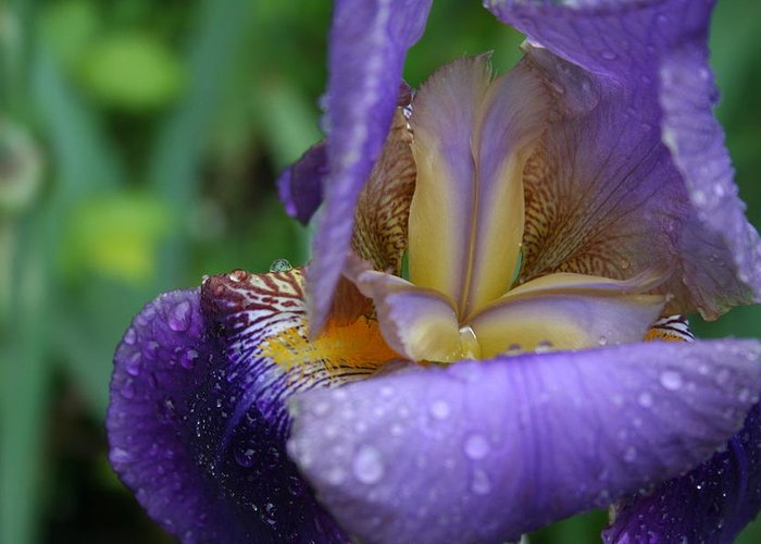Iris Greeting Card featuring the photograph Luscious Blooming Iris by Mary Gaines