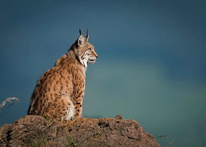 Cabarceno Greeting Card featuring the photograph Lynx In Profile On Rock Looking Up by Ndp