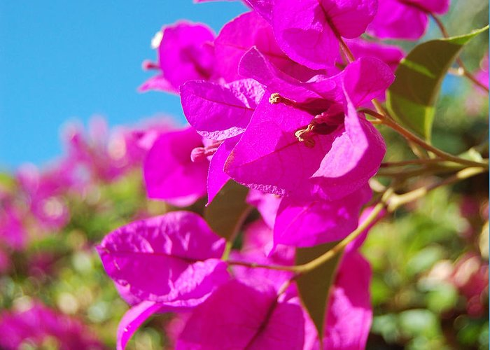 Bougainvillea Greeting Card featuring the photograph Magenta Bougainvillea by Jean Booth