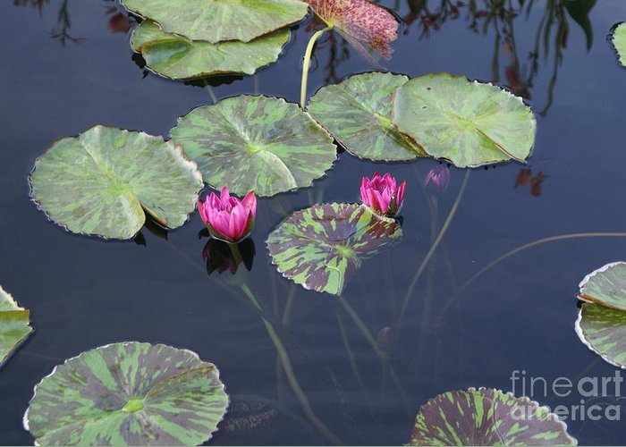 Pond Greeting Card featuring the photograph Magenta Tease by Heather Boguski