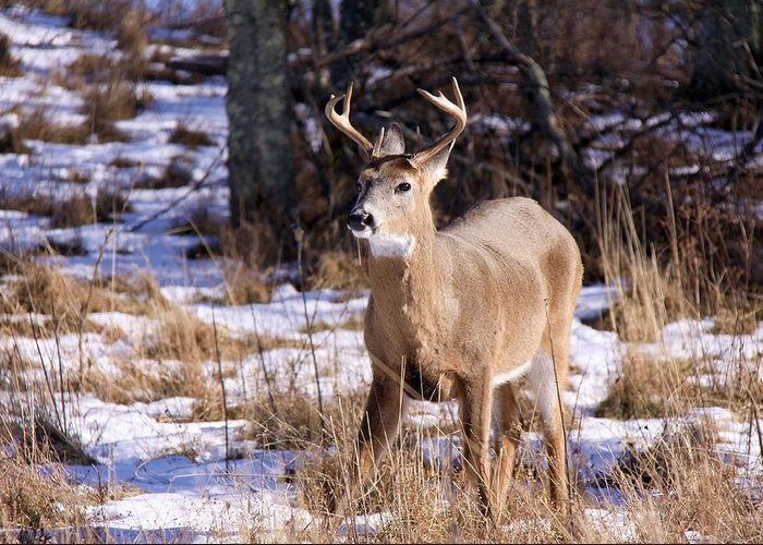 Deer Greeting Card featuring the photograph Magic Reindeer by Mitch Cat