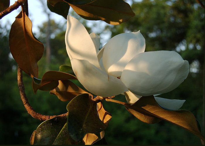 Magnolia Greeting Card featuring the photograph Magnolia by Heather S Huston