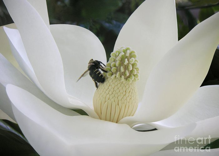 Nature Greeting Card featuring the photograph Magnolia Honey by Lucyna A M Green