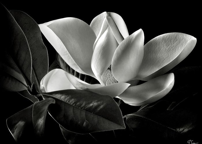 Flower Greeting Card featuring the photograph Magnolia In Black And White by Endre Balogh