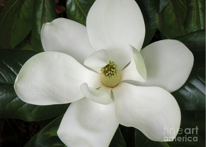 Nature Greeting Card featuring the photograph Magnolia In Full Bloom by Lucyna A M Green