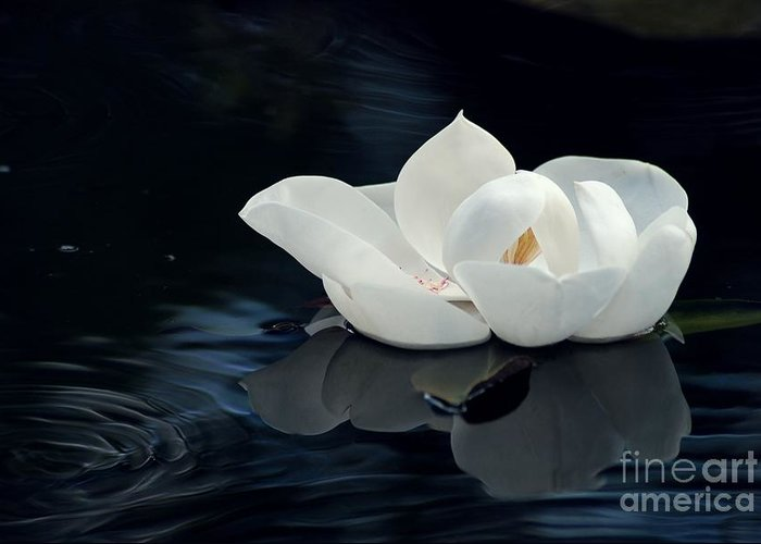 Magnolia Greeting Card featuring the photograph Magnolia by Kendra Longfellow