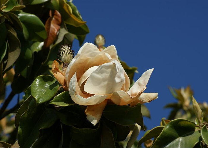 Magnolia Greeting Card featuring the photograph Magnolia by Liz Vernand