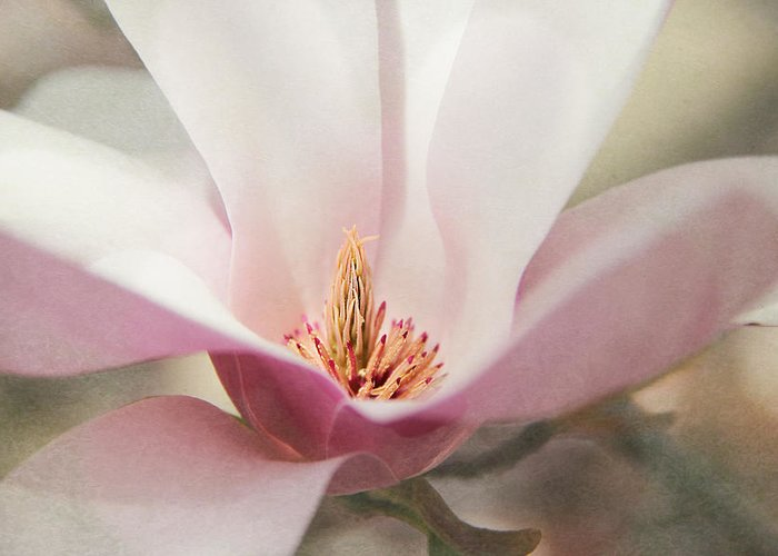 Magnolia Greeting Card featuring the photograph Magnolia Morning by Bonnie Rovere