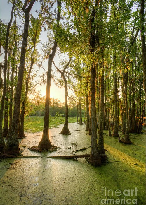 Magnolia Plantation Greeting Card featuring the photograph Magnolia Plantation Cypress Swamp by Dustin K Ryan