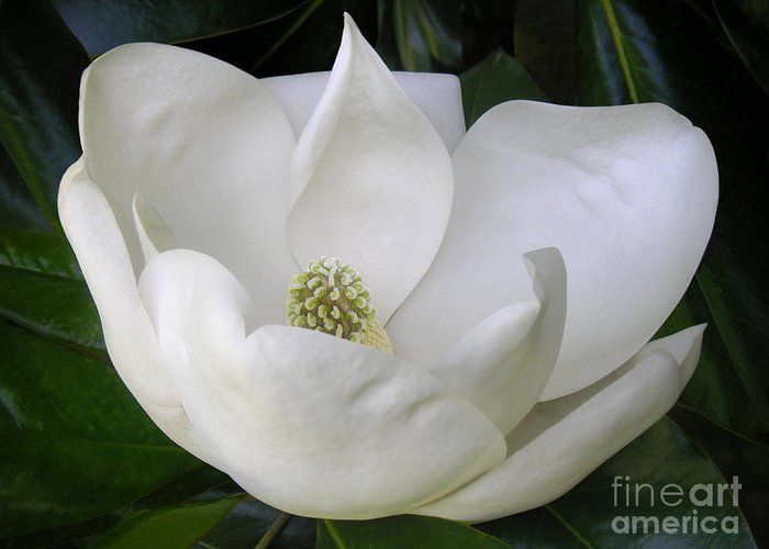 Nature Greeting Card featuring the photograph Magnolia Unfolding by Lucyna A M Green