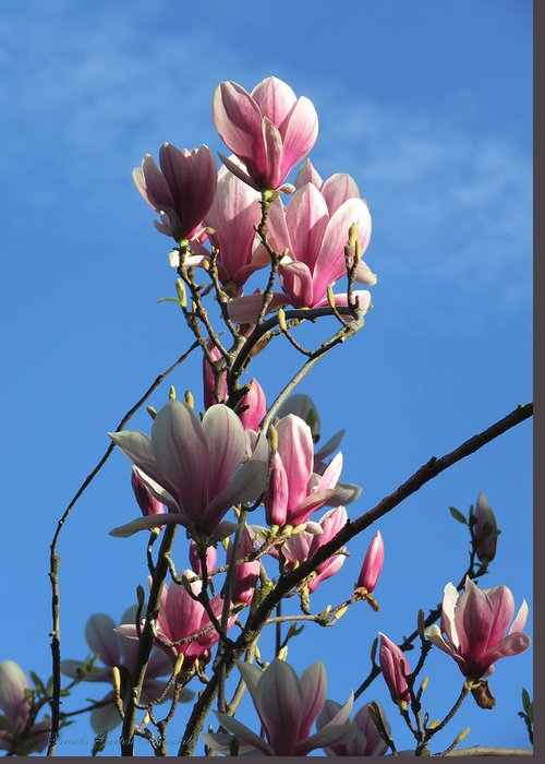 Magnolia Greeting Card featuring the photograph Magnolias And Blue Skies - Springtime In The Valley by Brooks Garten Hauschild