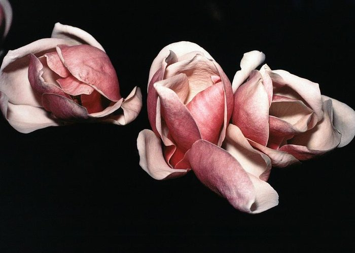 Magnolias Greeting Card featuring the photograph Magnolias At Night by Joseph Cosby
