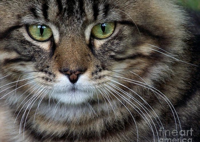 Cat Greeting Card featuring the photograph Maine Coon Cat Portrait by Jai Johnson