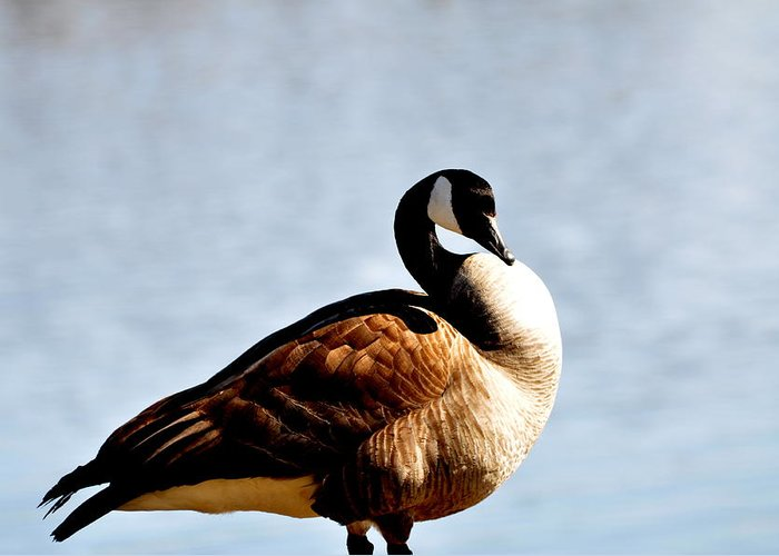 Goose Greeting Card featuring the photograph Majestic by Athena Ellis