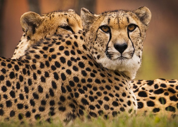 Cheetah Greeting Card featuring the photograph Majestic by Chad Davis