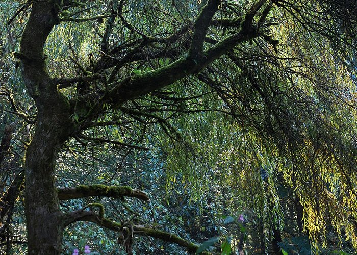 Weeping Willow Greeting Card featuring the photograph Majestic Weeping Willow by Marion McCristall