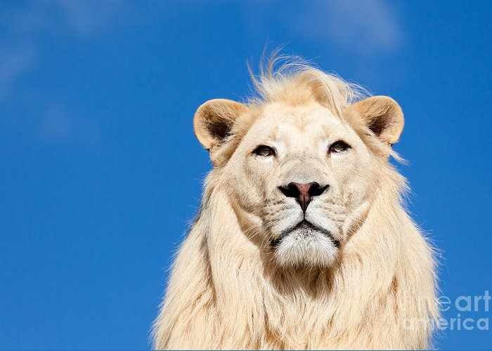 White Lion Greeting Card featuring the photograph Majestic White Lion by Sarah Cheriton-Jones