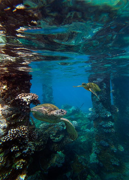 Maui Hawaii Mala Wharf Undersea Turtles Lahaina Pier Greeting Card featuring the photograph Mala Turtles by James Roemmling