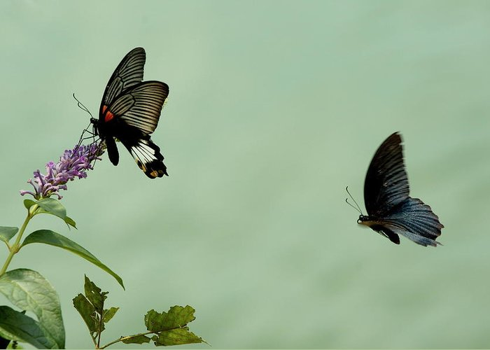 Animal Greeting Card featuring the photograph Male And Female Great Mormon Butterflies Hovering Over A Wildflower by Sami Sarkis