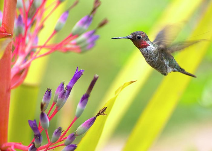 Anna's Hummingbird Greeting Card featuring the photograph Male Anna's Hummingbird by Mike Herdering