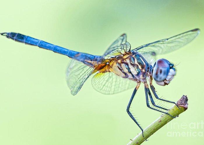 Male Blue Dasher Dragonfly Greeting Card featuring the photograph Male Blue Dasher Dragonfly by Bonnie Barry