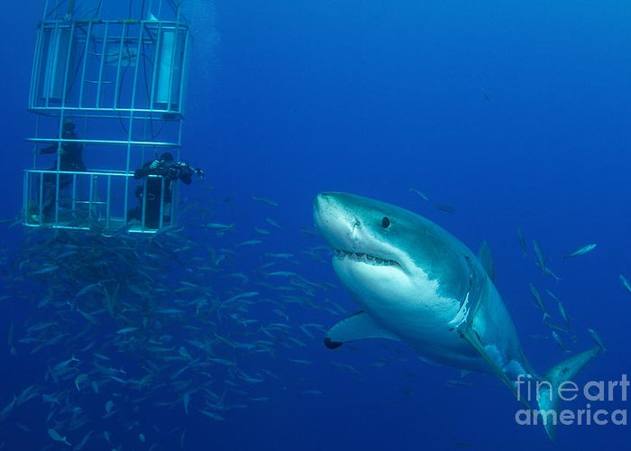 Carcharodon Carcharias Greeting Card featuring the photograph Male Great White Shark And Divers by Todd Winner