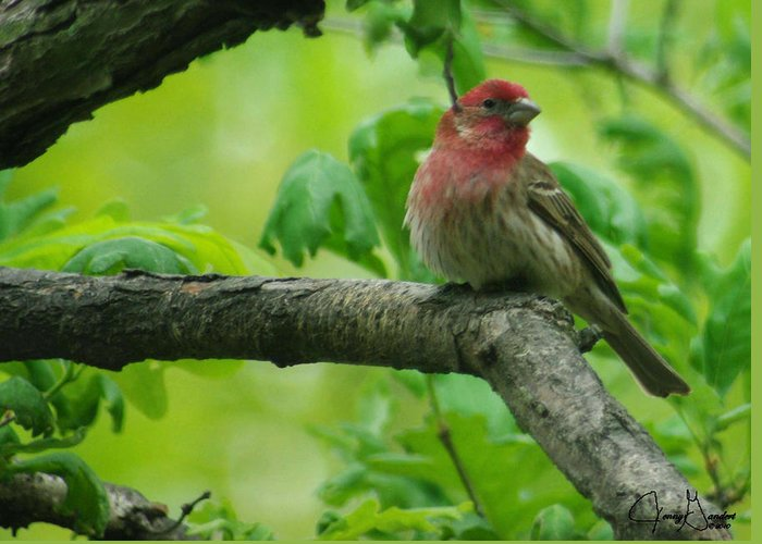 Jenny Gandert Greeting Card featuring the photograph Male House Finch by Jenny Gandert