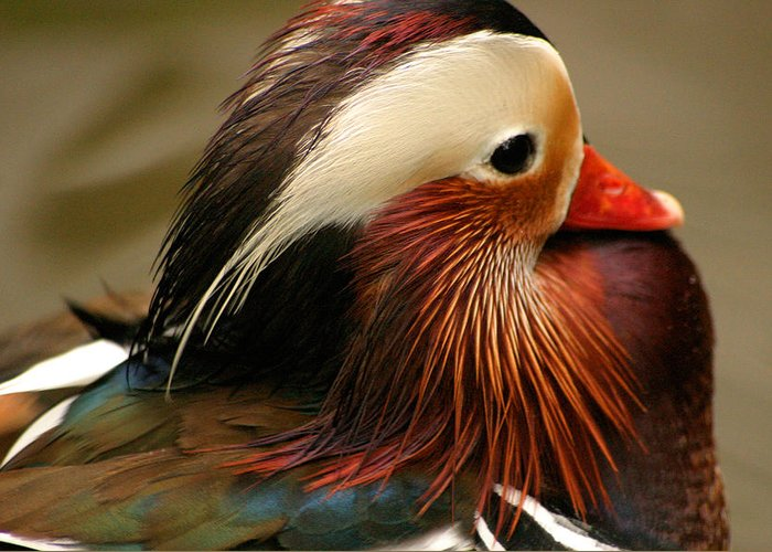 Mandarin Duck Greeting Card featuring the photograph Male Mandarin Duck China by Ralph A Ledergerber-Photography