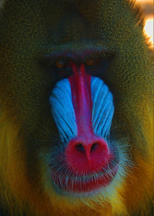 Mandrill Greeting Card featuring the photograph Male Mandrill by Richard Henne