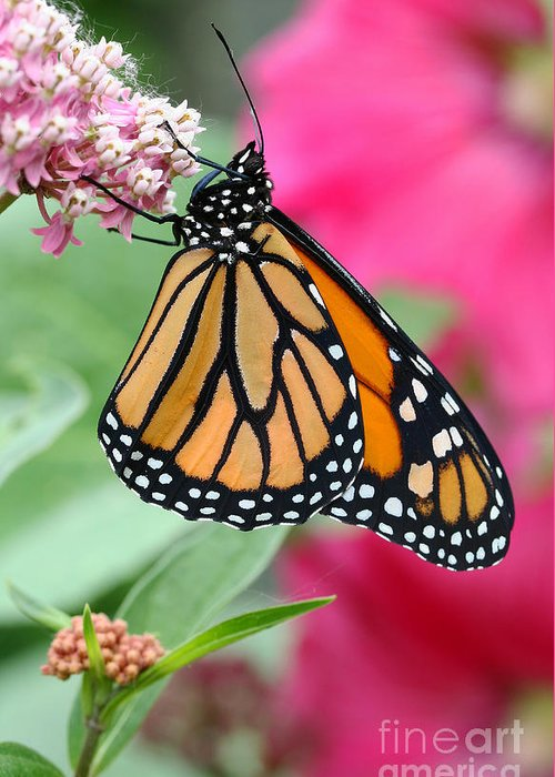 Monarch Greeting Card featuring the photograph Male Monarch by Steve Augustin
