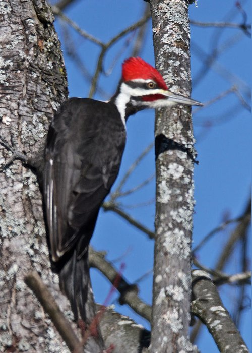 Red Greeting Card featuring the photograph Male Pileated Woodpecker 6340 by Michael Peychich