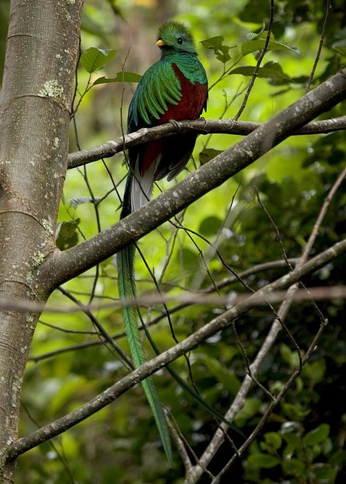 Quetzals Greeting Card featuring the photograph Male Resplendent Quetzal by Roy Toft
