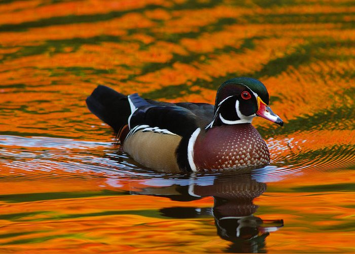 Day Greeting Card featuring the photograph Male Wood Duck, Aix Sponsa, Swimming by Darlyne A. Murawski