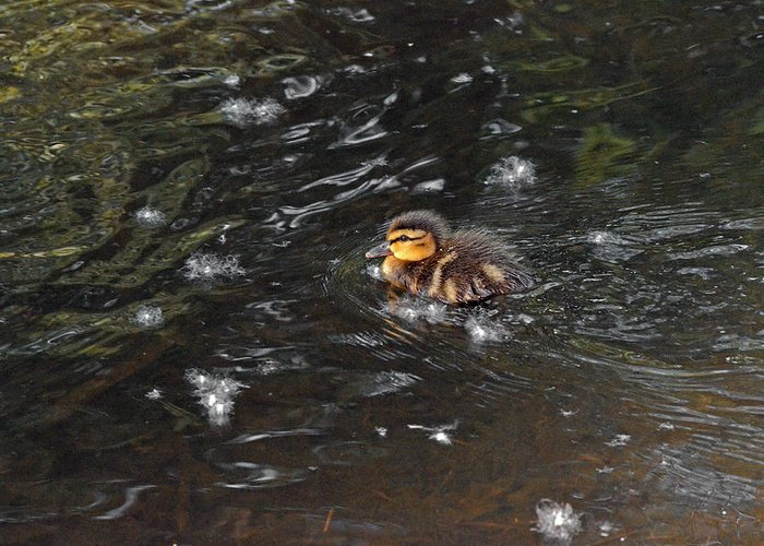 Duck Greeting Card featuring the photograph Mallard Duckling by Asbed Iskedjian