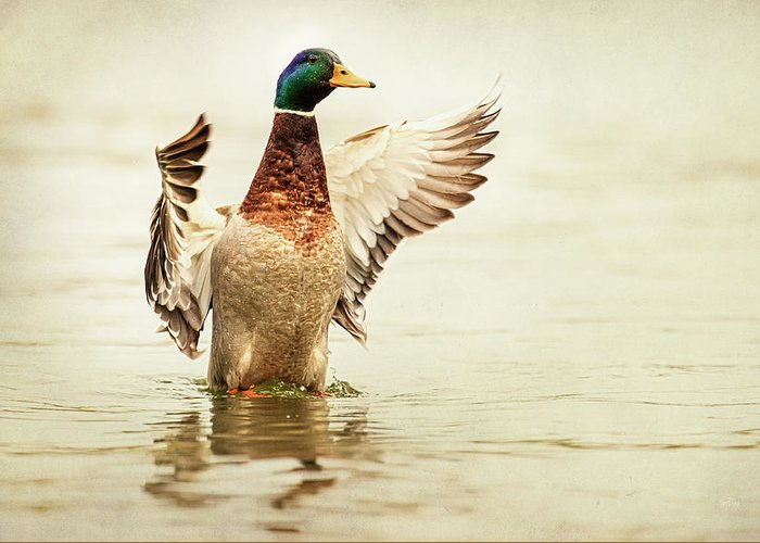 Duck Greeting Card featuring the photograph Mallard by Everet Regal