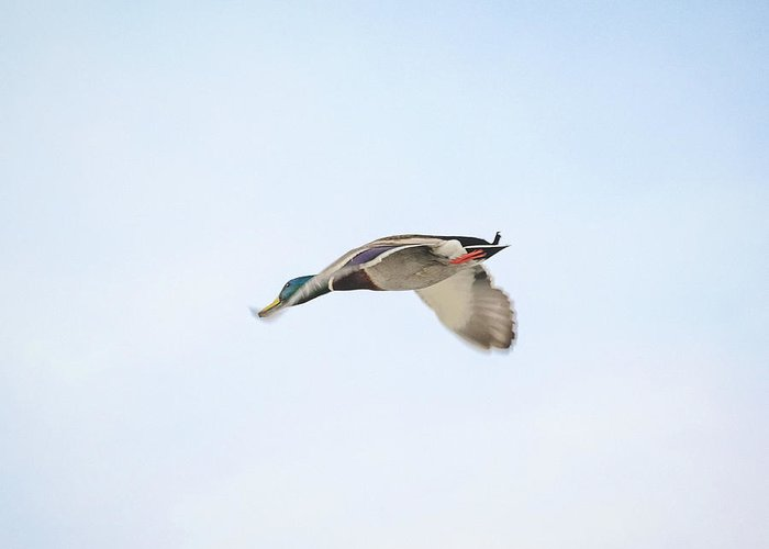 Wildlife Greeting Card featuring the photograph Mallard In Motion by Jason Coward