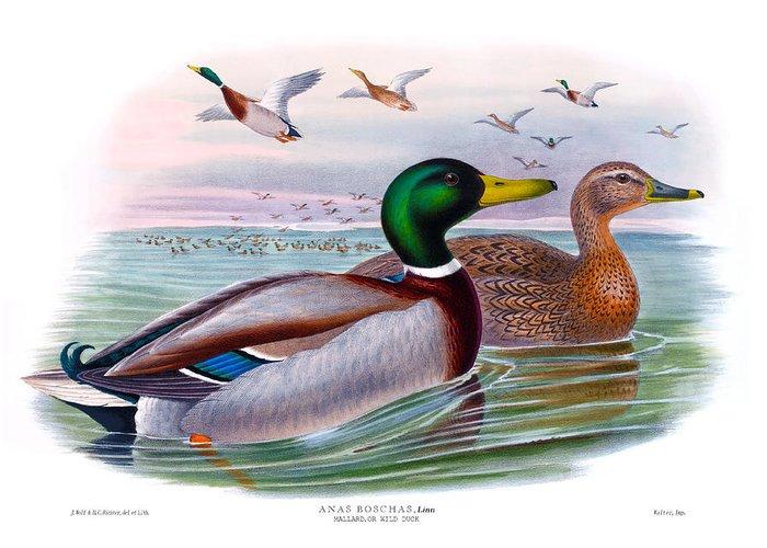 Mallard Greeting Card featuring the painting Mallard Or Wild Duck Antique Bird Print Joseph Wolf Birds Of Great Britain by Orchard Arts