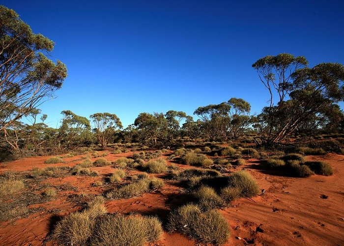 Mallee Greeting Card featuring the photograph Mallee And Spinifex by Tony Brown
