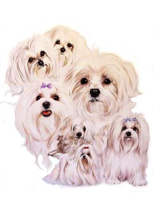 Toy Class Greeting Card featuring the drawing Maltese by Barbara Keith