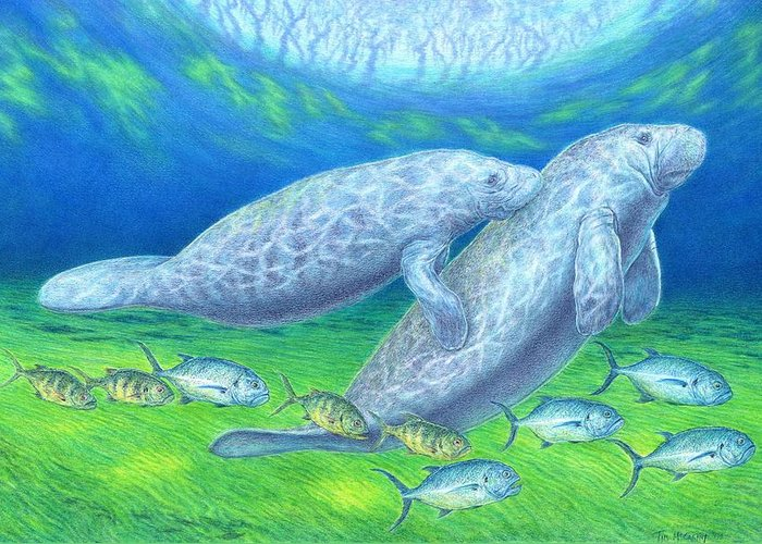 Florida Greeting Card featuring the drawing Manatee Spring by Tim McCarthy