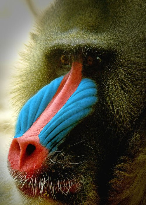 Mandrill Greeting Card featuring the photograph Mandrill by Richard Henne