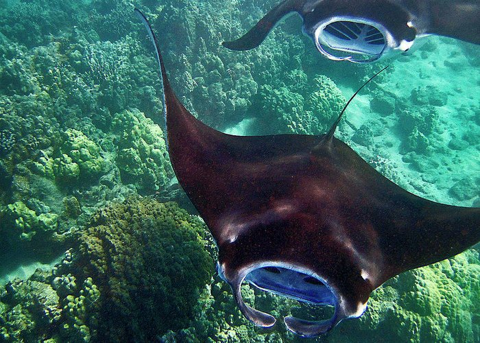 Manta Ray Greeting Card featuring the photograph Mantas In Flight by Bette Phelan