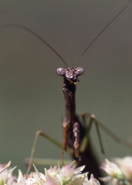 Greeting Card featuring the photograph Mantis Hello by Curtis J Neeley Jr