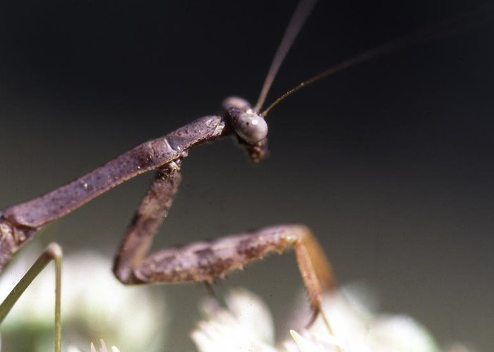 Greeting Card featuring the photograph Mantis Pray by Curtis J Neeley Jr