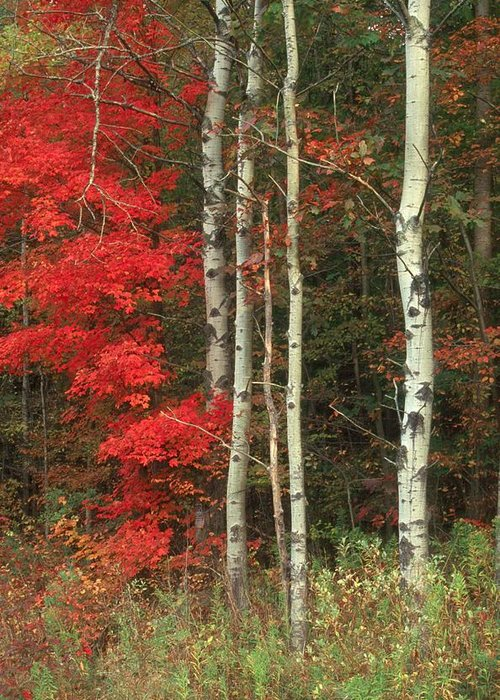 Fall Greeting Card featuring the photograph Maple And The Birch by Raju Alagawadi