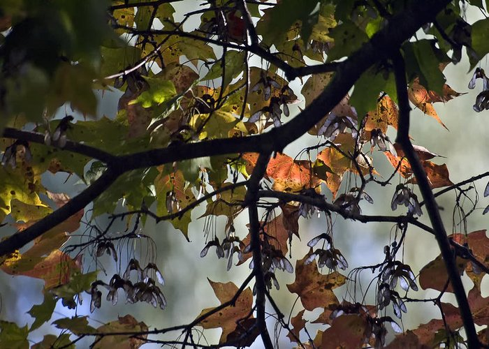 Trees Greeting Card featuring the photograph Maple Color by Ross Powell