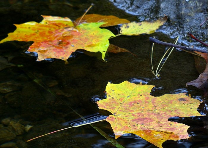 Leaf Greeting Card featuring the photograph Maple Leaf by Sean Shaw