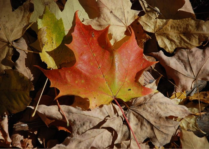 Nature Greeting Card featuring the photograph Maple Leaf by William Thomas